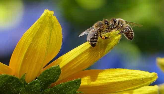 La transumanza delle api